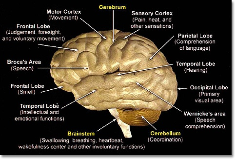 anatomy brain showing side effects of brain surgery